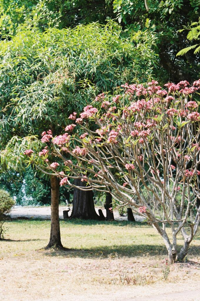 Flowering tree, Malawi